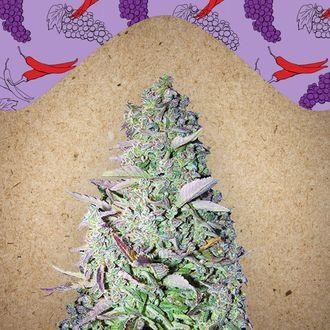 Purple Maroc (Female Seeds) féminisée