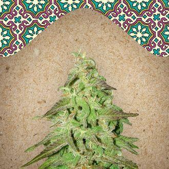 Maroc (Female Seeds) féminisée