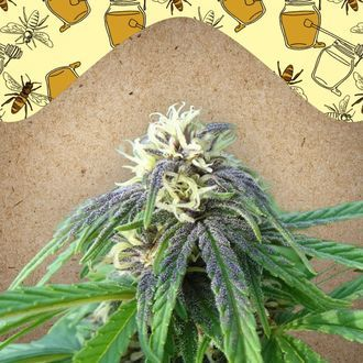 Easy Sativa (Female Seeds) féminisée