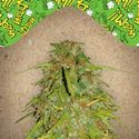 Auto Speed Bud (Female Seeds) féminisée
