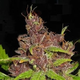 Purple Mazar Auto (Flash Auto Seeds) féminisée
