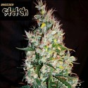 Russian Haze Auto (Flash Auto Seeds) féminisée