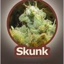 Skunk (John Sinclair Seeds) féminisée