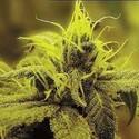 A-1 Haze (Sagarmatha Seeds) féminisée
