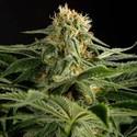 California Hashplant (Dinafem) féminisée