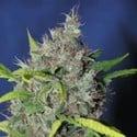 Blueberry Bud (Sagarmatha Seeds) féminisée