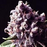 Purple Pinecone (Sagarmatha Seeds) féminisée