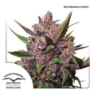 Auto Blackberry Kush (Dutch Passion) féminisée