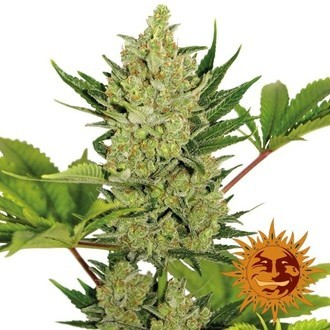 Blueberry Cheese Auto (Barney's Farm) féminisée