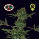 Big Buddha Cheese Automatic (Big Buddha Seeds) féminisée