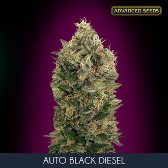 Auto Black Diesel (Advanced Seeds) féminisée