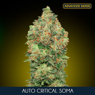 Auto Critical Soma (Advanced Seeds) féminisée