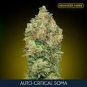 Auto Critical Soma (Advanced Seeds) féminisée