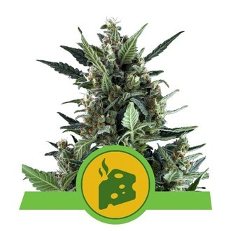 Blue Cheese Automatic (Royal Queen Seeds) féminisée