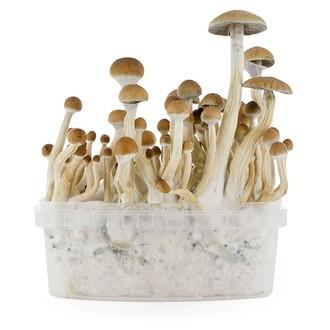 Kit de Culture Fresh Mushrooms 'B+'