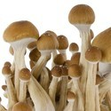 Kit de Culture Fresh Mushrooms 'McKennaii'