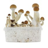Kit de Culture Fresh Mushrooms 'Golden Teacher'