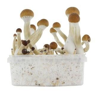 Kit de Culture Fresh Mushrooms 'Golden Teacher'