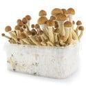 Kit de Culture Fresh Mushrooms 'Ecuador'