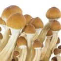Kit de Culture Fresh Mushrooms 'Ecuador'
