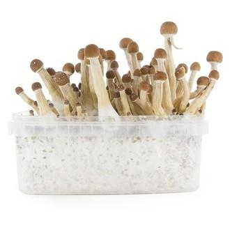 Kit de Culture Fresh Mushrooms 'Mexican'