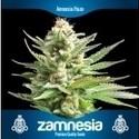 3 Free Cannabis Seeds (Zamnesia Seeds)