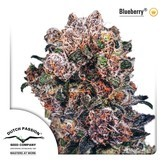 Blueberry (Dutch Passion) feminizsiert