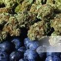 Blueberry (Dutch Passion) féminisée