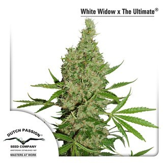 White Widow (Dutch Passion) féminisée