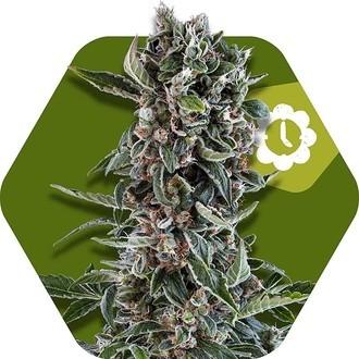 Blueberry Cheese Autoflowering (Zambeza) féminisée