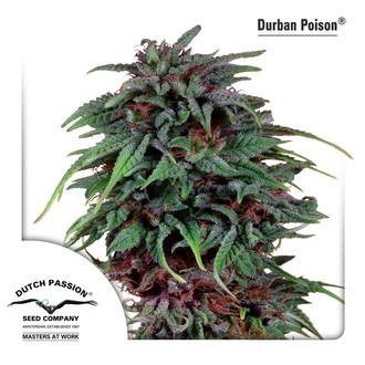 Durban Poison (Dutch Passion) féminisée
