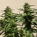 Missile 33 SuperAuto (Flash Auto Seeds) féminisée