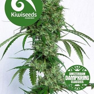 Ocean's Twelve Haze (Kiwi Seeds) féminisée