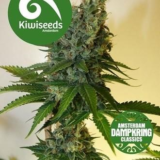 Congo Haze (Kiwi Seeds) féminisée