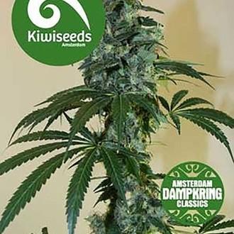 G13 x Amnesia Haze (Kiwi Seeds) féminisée
