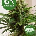 Cloud 9 (Kiwi Seeds) féminisée