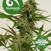 Mexican Haze (Kiwi Seeds) feminized