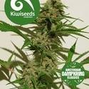 Mexican Haze (Kiwi Seeds) féminisée