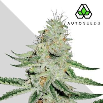 Dreamberry (Auto Seeds) féminisée