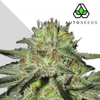 Kush Doctor (Auto Seeds) féminisée
