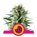 Royal Cookies (Royal Queen Seeds) féminisée