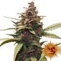Ayahuasca Purple (Barney's Farm) féminisée