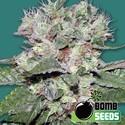 CBD Bomb (Bomb Seeds) féminisée