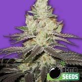Killer Purps (Bomb Seeds) féminisée