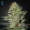 Exodus Cheese Autoflowering (Greenhouse Seeds) féminisée