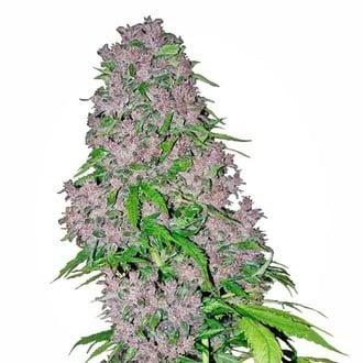 Purple Bud (White Label) féminisée