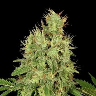 CBD-Chronic (Serious Seeds) féminisée