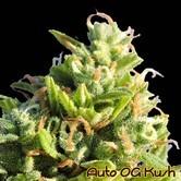 Auto OG Kush (Original Sensible Seeds) feminisiert