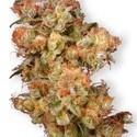 Snow Bud (Dutch Passion) féminisée