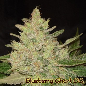 Blueberry Ghost OG (Original Sensible Seeds) féminisée